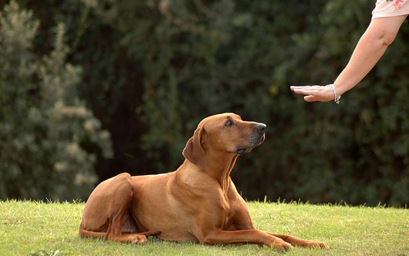 Картинки по запросу картинки на тему дрессировка ОКД собаки